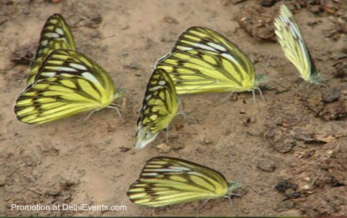 Asola Bhatti Wildlife Sanctuary butterflies