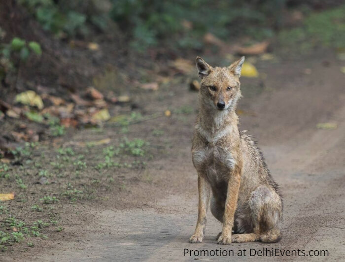 Jackal Asola Bhatti Wildlife Sanctuary