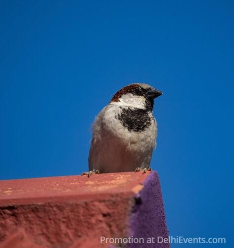 Sparrow Asola Bhatti Wildlife Sanctuary