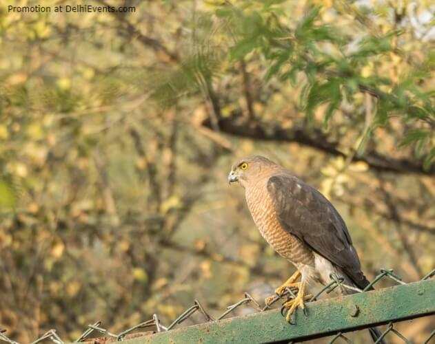 Raptor Asola Bhatti Wildlife Sanctuary